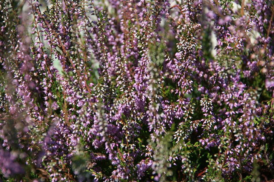 Catalogo piante perenni e graminacee vivaio con vendita for Piante per aiuole sempreverdi
