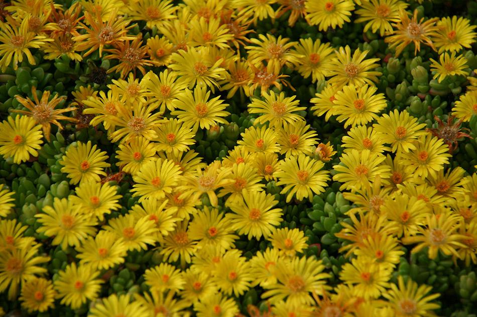 Piante Da Bordura Pieno Sole : Catalogo piante perenni e graminacee vivaio con vendita