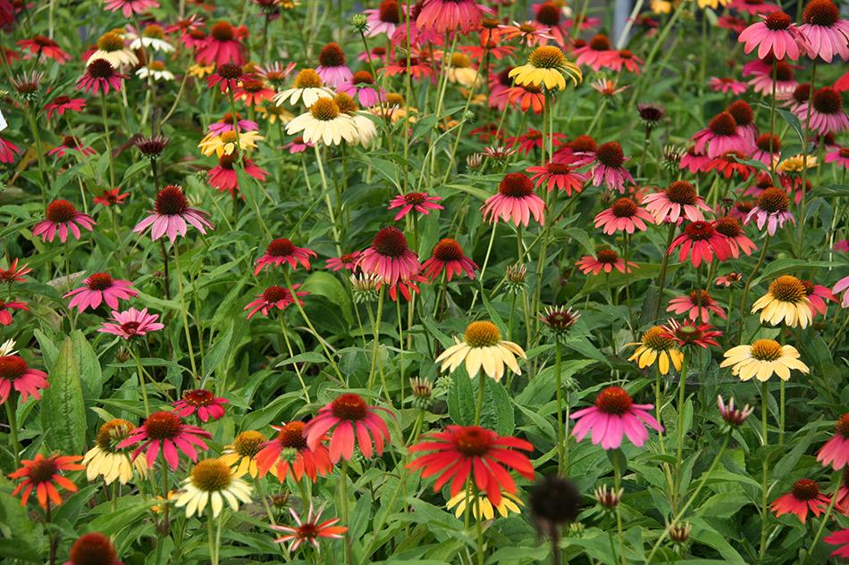 Piante Aromatiche Perenni Elenco : Catalogo piante perenni e graminacee vivaio con vendita