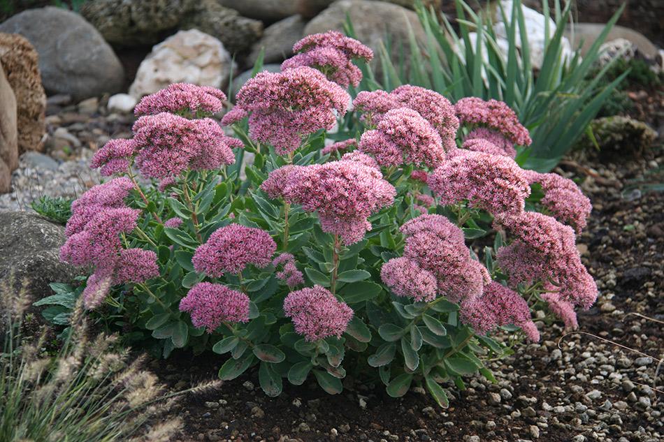 Catalogo piante perenni e graminacee vivaio con vendita - Piante basse perenni da giardino ...
