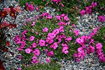 Catalogo piante perenni e graminacee vivaio con vendita for Fiori perenni per bordure