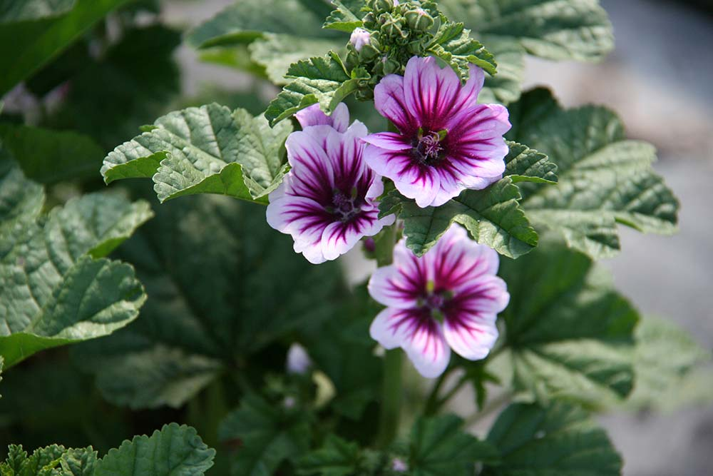 Cosa sono e come si mantengono le piante perenni antica for Piante perenni per bordure