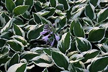 Piante erbacee perenni - Hosta fortunei 'Patriot'